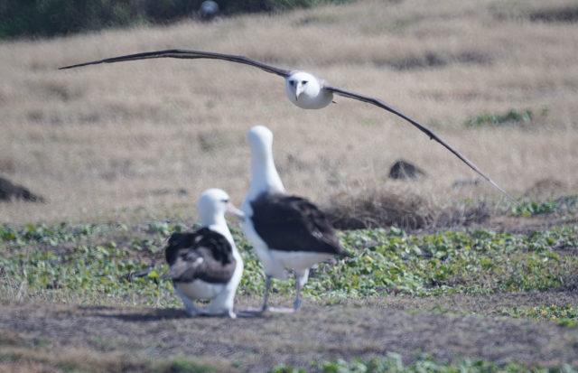 Albatross Kaena point. Hiked in from Mokuleia. 7 feb 2017