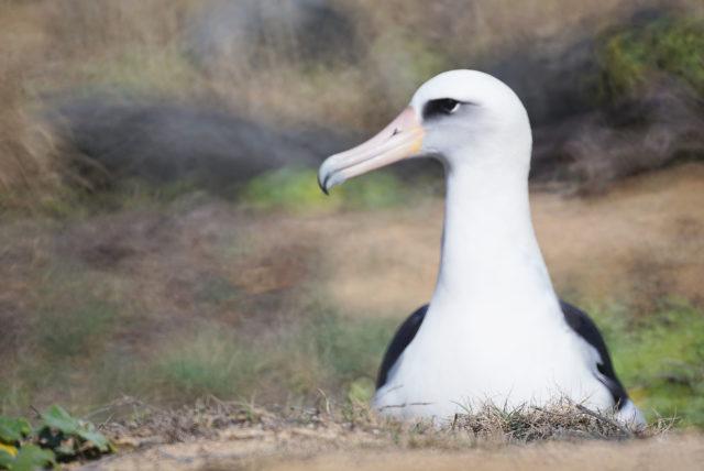 Laysan Albatross on nest Kaena Point. 7 feb 2017