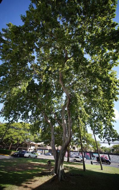 Pongamia Tree UH Bachman Hall.