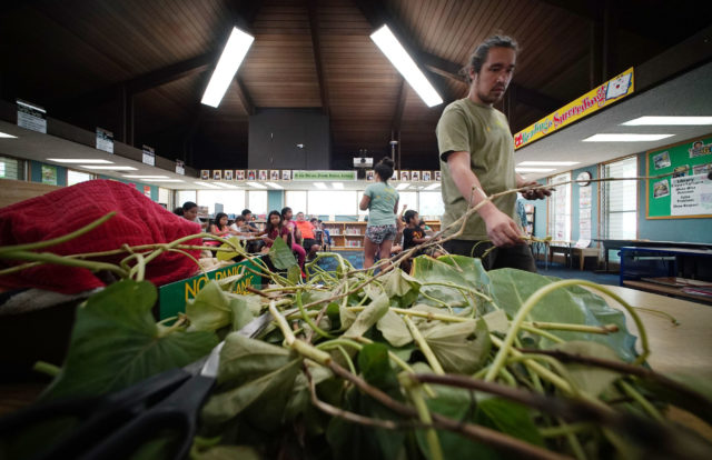 Joe Wat from Aina in Schools standing prepped 'Uala or Hawaiian sweet potato cuttings inside the library at Ala Wai Elementary. Soon after 4th graders planted the cuttings outside in their garden.