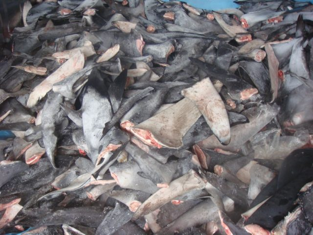 Shark fins piled in a heap as they go to market